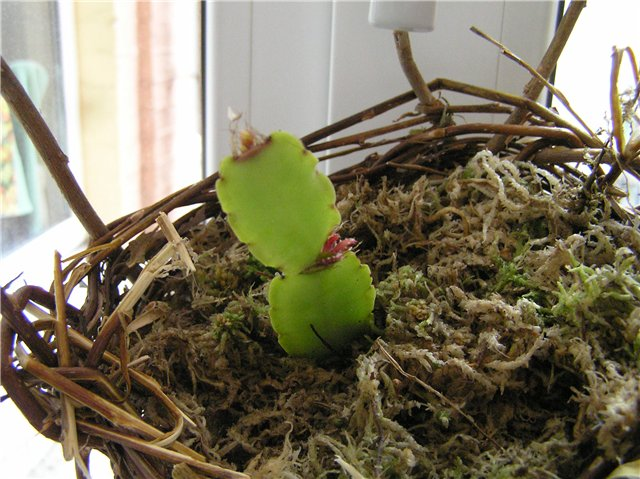 Цветок декабрист размножение и выращивание 98