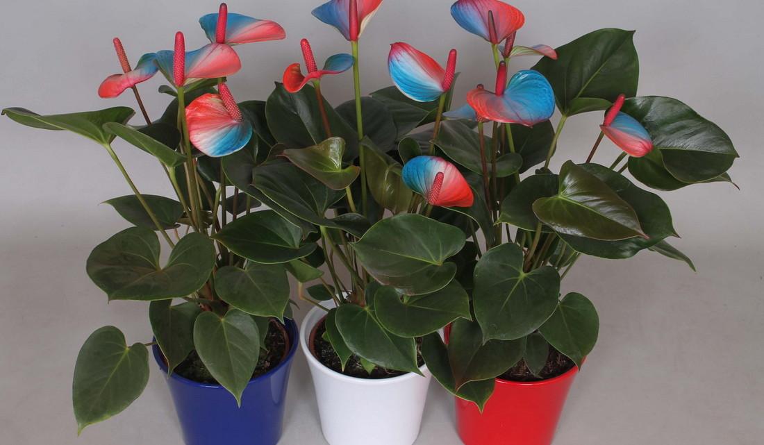 Цветы мужское счастье уход в домашних условиях фото