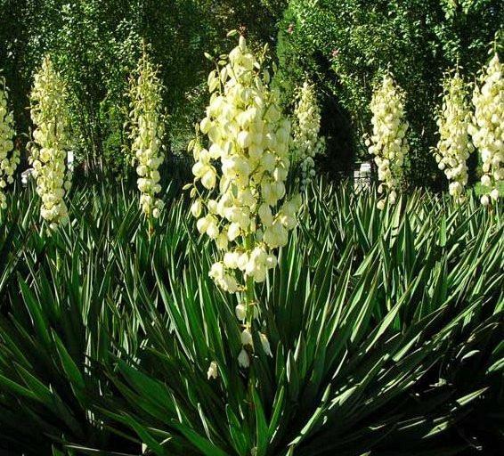 юкка фото растение садовая