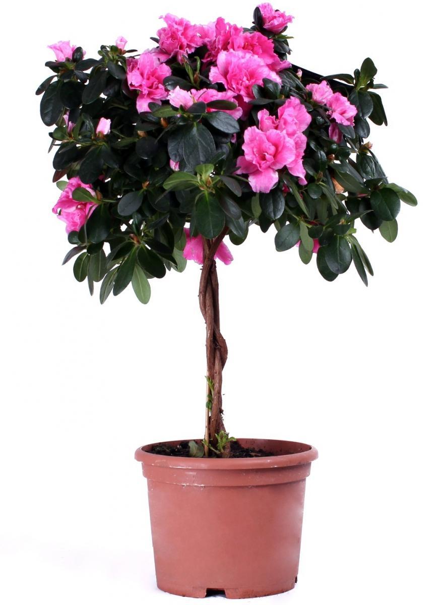 Что за комнатный цветок азалия