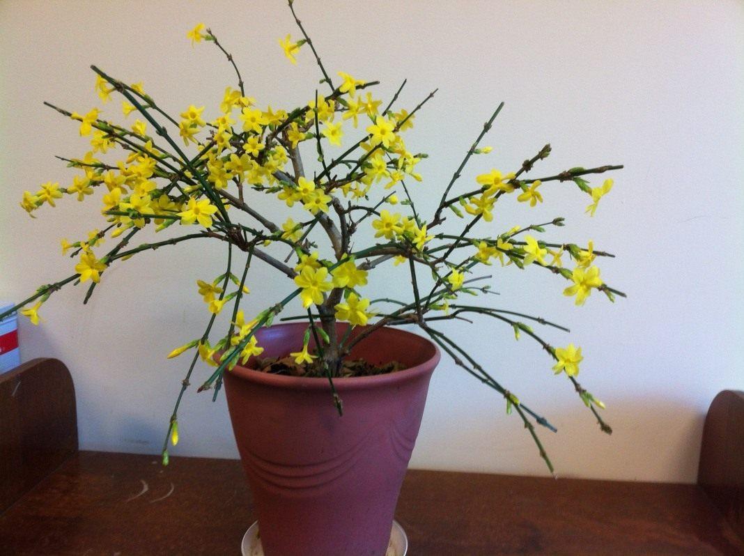 Жасмин цветы когда цветет