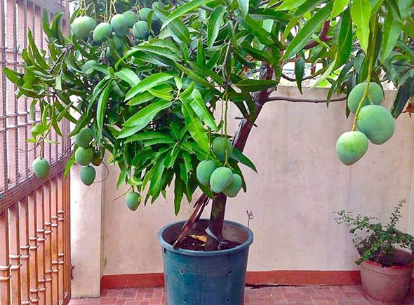 Что такое манго в домашних условиях