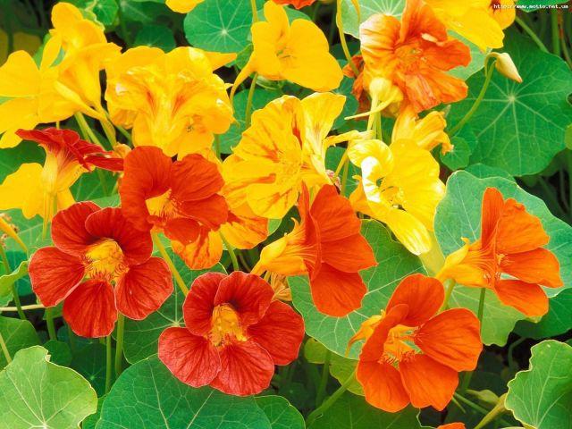 Настурция цветок фото