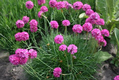 как сажать многолетние цветы семенами