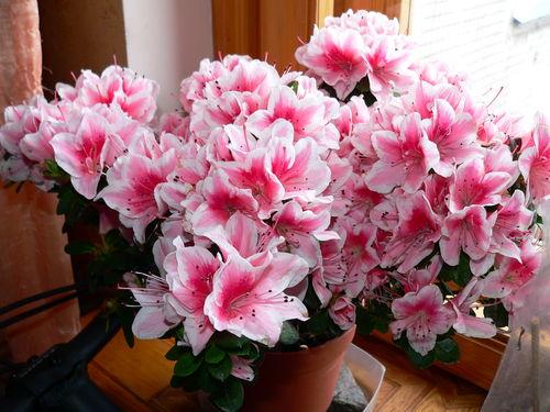 Азалия фото цветы комнатные