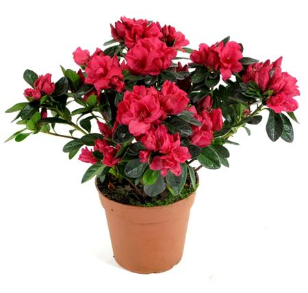 Фото комнатного цветка рододендрон