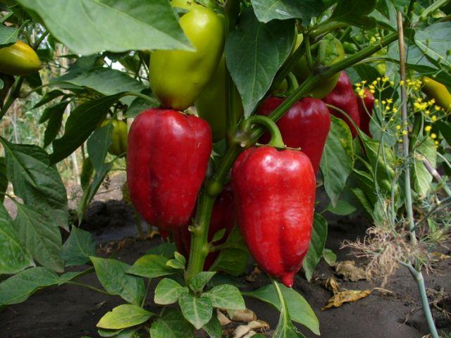 Перец чили: выращивание в открытом грунте - посадка