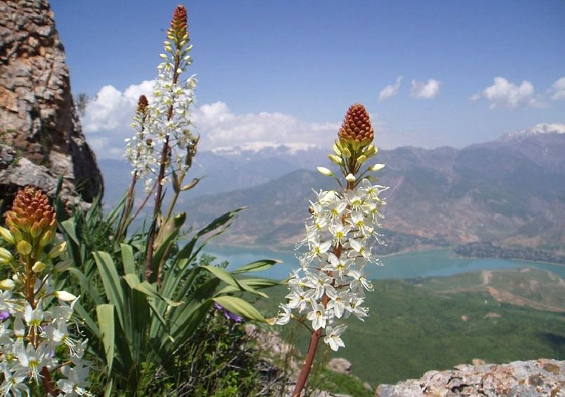 эремурус фото цветов