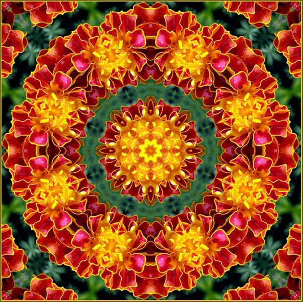 Цветы тагетес посадка и уход 10