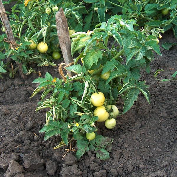 Картинки по запросу как посадить помидоры