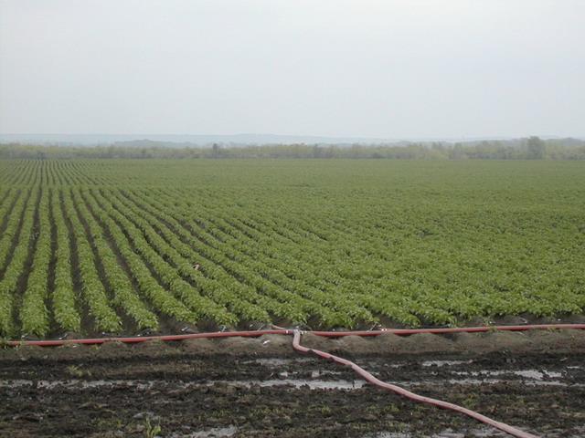 Капельный полив картофеля и