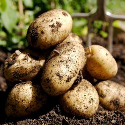 Картинки по запросу Как ухаживать за картошкой.