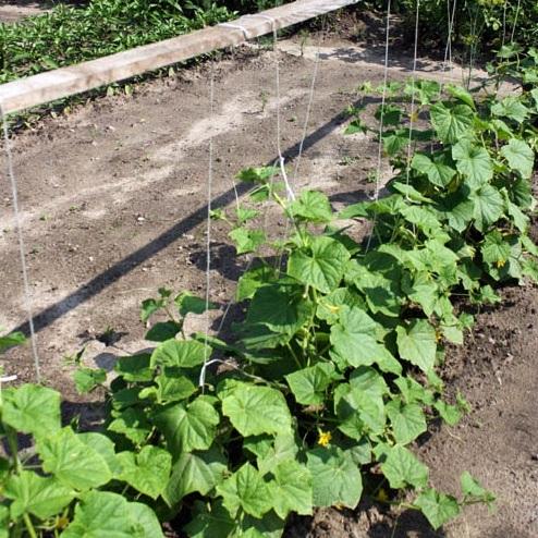 Огурцы - выращивание, посадка, уход. В открытом 4