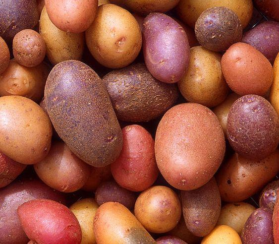 картофель альвара описание сорта отзывы фото