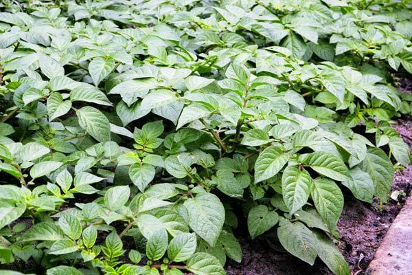 схемы посадки картофеля