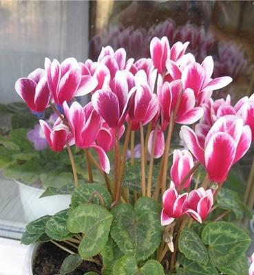Растение цикламен уход в домашних условиях 48