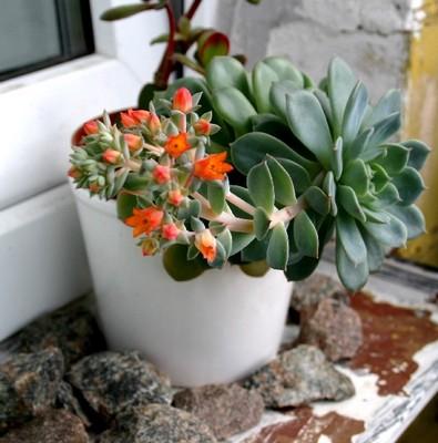 каменная роза растение фото
