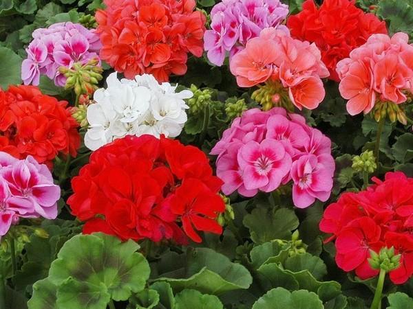 фото калачик цветок