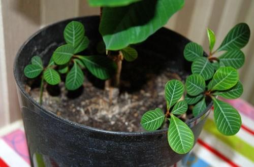 Растения молочай беложилковый