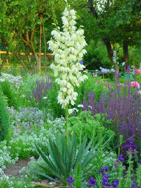юкка растение садовая фото