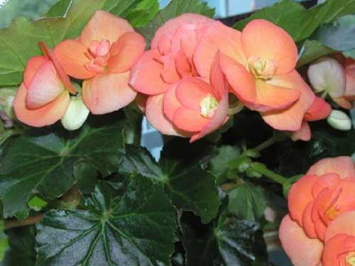 Комнатный цветок бегонии 43