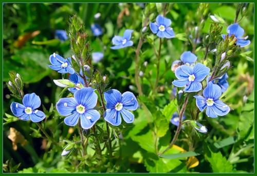 вероника трава фото