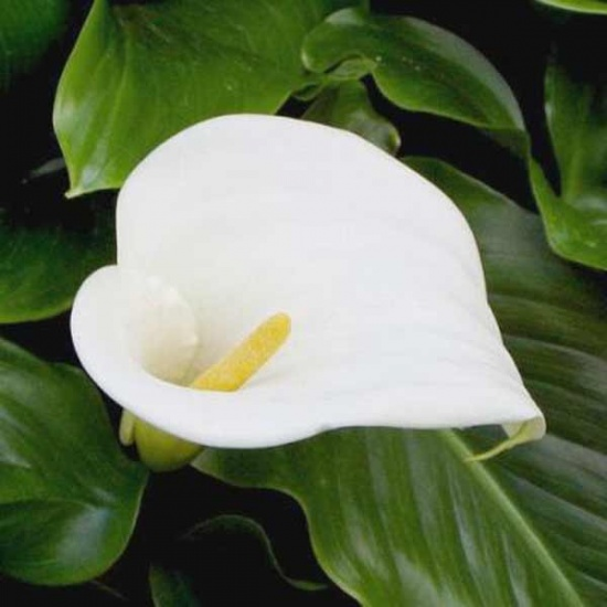 Цветы каллы википедия