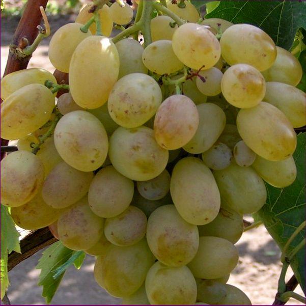 Сорт винограда Подарок Запорожью - fo 75