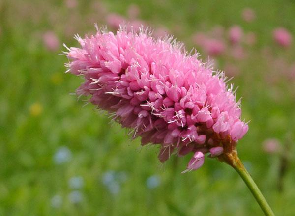 Фото цветы горец