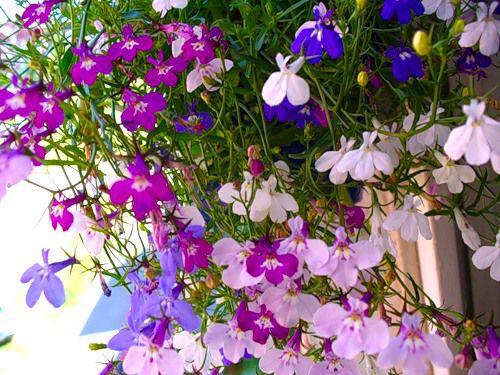 Либерия цветок
