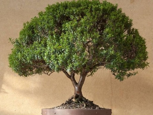 Денежное дерево Толстянка как ухаживать в домашних условиях