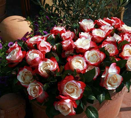 Фото цветка домашняя роза 69
