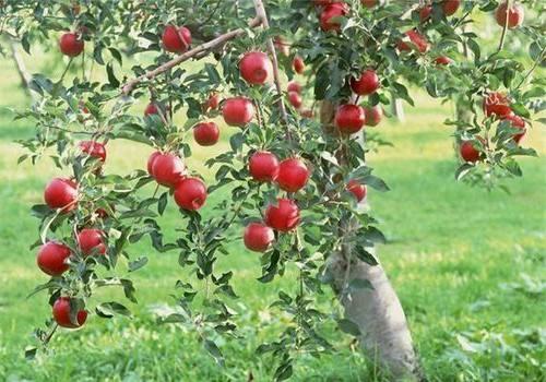 Обрезка старой яблони.