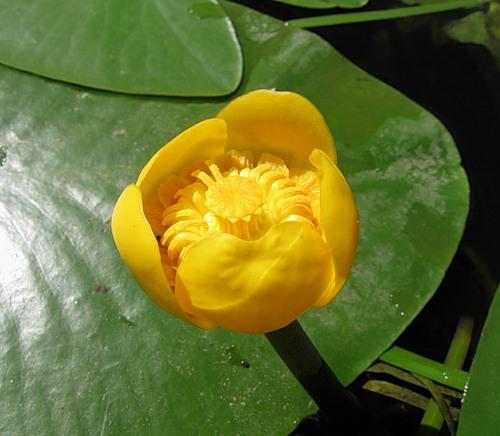 Цветы кувшинки желтые