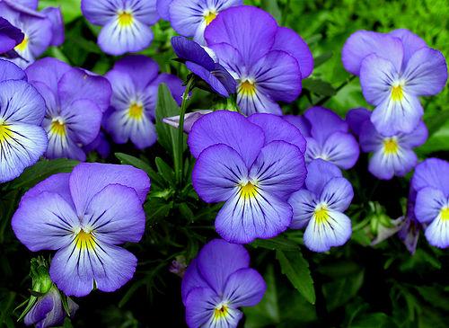 Уход в домашних условиях за фиалкой: как обеспечить обильное цветение?