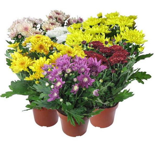 Цветок хризантема  посадка и уход за хризантемой фото