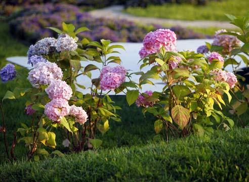 Цветы гортензии посадка и уход 27