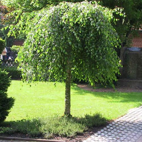 Обрезка берёз - Удаление деревьев