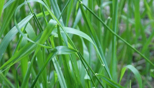 растения пырей фото