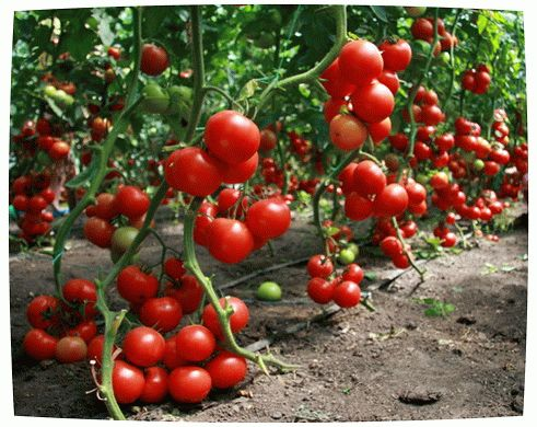 Выращивание помидор своими семенами 110