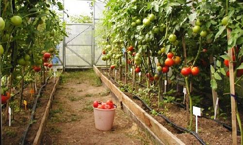 Как вырастить в теплице помидоры зимой