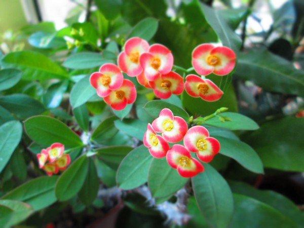 Молочай Миля - Комнатные растения и цветы 46
