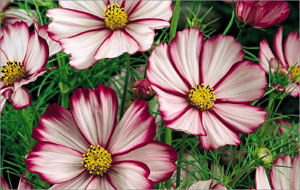 Космея цветок фото уход