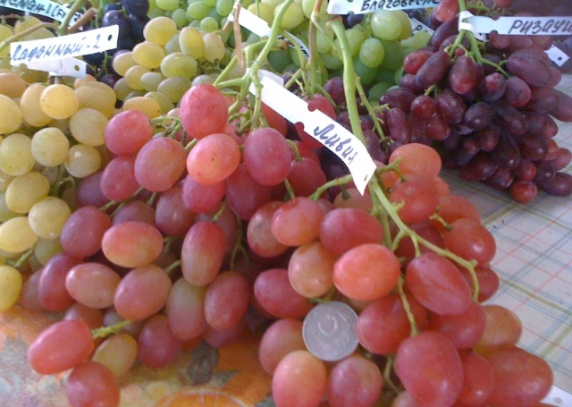 виноград сорта фламинго фото описание отзывы