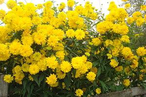 Желтые шарики цветы
