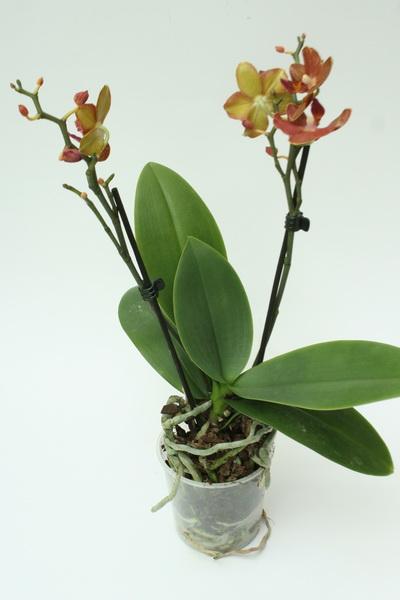 Как пересаживать цветущую орхидею в домашних условиях 242
