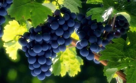 Минсельхоз разработает концепцию развития виноградарства и виноделия в России