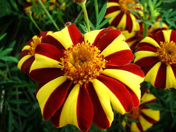 цветы бархотки фото