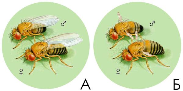 рисунки мутации мухи дрозофилы