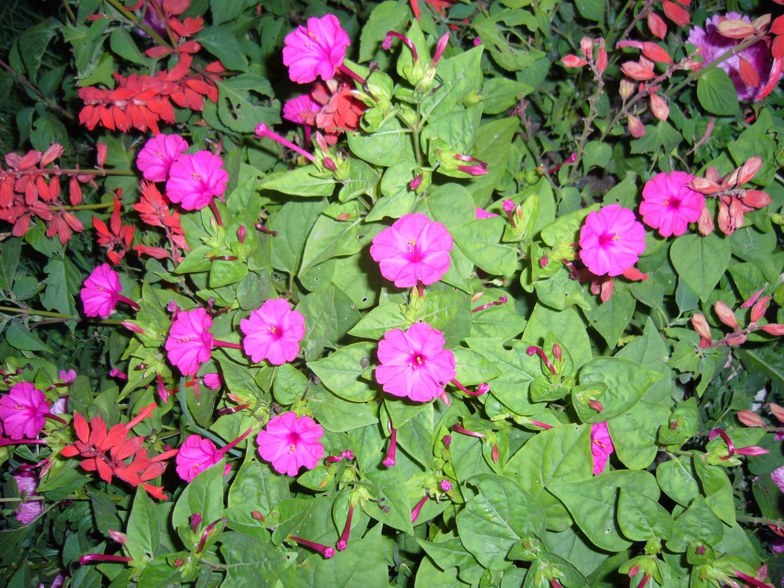фото цветы ночная красавица